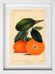 Vintage Orange Botanical Print from 14 Fun Summer Printables for FREE -Calmandcollected.us